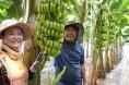 '해남산 바나나' 맛보세요...오는 7월 수확 앞둬