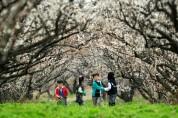 '국내 최대' 땅끝매화축제, 3월 16일 보해매실농원서 개최