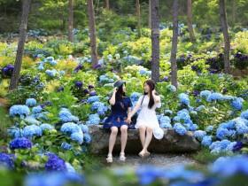 해남 포레스트수목원, 6일부터 땅끝 수국축제 개최
